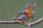 Pair of European Kingfishers mating on a branch (Kingfisher)