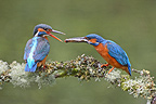 Male European Kingfisher making a present to the female (Kingfisher)