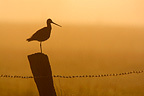 Black-tailed godwit on post at sunrise Poland (Black-tailed Godwit)