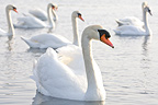 Mute Swans swimming on a lake France (Mute Swan)