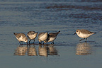 Sanderlings looking for food Lincolnshire GB (Sanderling)