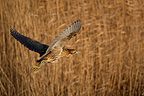 Great bittern in flight above a reed bed (Great Bittern)