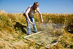 Installation of a fence to protect Busard in a cereal field�