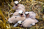 Young Montagu's harriers in nest Chamapgne France (Montagu's Harrier)