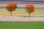 Trees on a plain grain fall France
