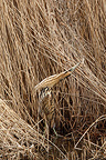 Great Bittern hidden in the reed bed (Great Bittern)