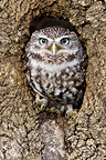 Little owl in a hole in old tree trunk Great Britain (Little owl)