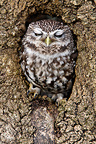 Little owl sleeping in a hole in old tree trunk (Little owl)