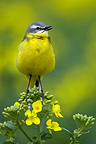 Ashy-headed Wagtail singing on a plant Turnip France� (Ashy-headed Wagtail)