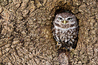 Little owl standing in the hole in an old tree trunk (Little owl)