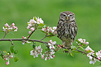 Little owl standing on a branch of a flowering apple tree (Little owl)
