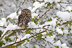 Little owl standing in a tree covered with snow (Little owl)