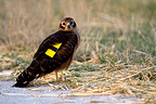 Immature harrier marked the edge of a field France� (Montagu's Harrier)