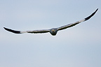 Male harrier in flight Champagne France� (Montagu's Harrier)