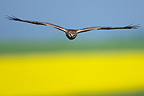 Female harrier in flight over a field France (Montagu's Harrier)