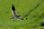 Male harrier in flight over a field France  (Montagu's Harrier)