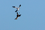 Couple of Montagu's harrier in courtship flight in France  (Montagu's Harrier)