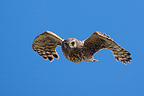 Hen Harrier female in flight Champagne France  (Hen Harrier)