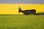 Buck deer in a field of grain Champagne France (Roe deer)