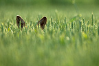 Roe Deer hidden in a field of grain Champagne France� (Roe deer)