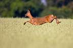 Roe Deer jumping in field of grain Champagne France� (Roe deer)