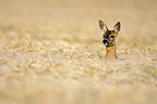 Roe Deer female in field of grain Champagne France� (Roe deer)