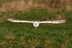 Barn owl flying GB (Barn Owl)