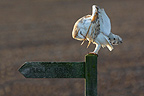 Barn owl preening on a sign post GB (Barn Owl)
