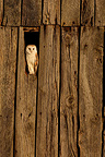 Barn owl standing on a old barn door GB (Barn Owl)