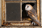 Barn owl standing near a broken window GB (Barn Owl)