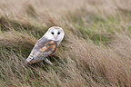 Barn owl standing in a meadow GB (Barn Owl)
