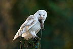 Barn owl standing on post with a prey in bill GB (Barn Owl)