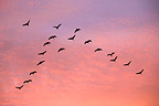 Flight of cranes at dusk Lake Der France� (Common Crane)