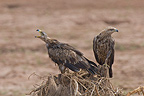 Steppe eagles in Samburu NP Kenya (Steppe Eagle)