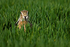 Portrait of European Hare in a field of cereal France  (European Hare )