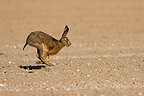 European hare running in a field plowed France  (European Hare )