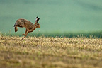 European hare running in a field Champagne France� (European Hare )