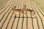 European Hares fighting Champagne France (European Hare )