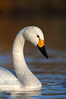 Portrait of a Bewick's swan swimming Great Britain (Bewick's swan)