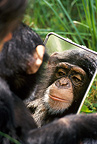 Mirror testing and identity for a young Chimpanzee (Chimpanzee)