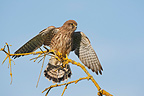 Female Common Kestrel on a branch, UK