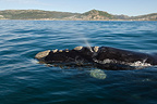Southern right whale Indian Ocean South Africa (Southern right whale)
