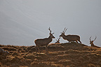 Male Red Deers in moor Scotland (Red deer)