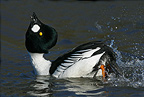 Male Goldeneye displaying at the end of the winter (Goldeneye)