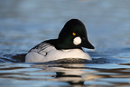 Male Goldeneye swimming (Goldeneye)