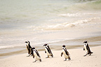Jackass Penguins walking on sand beach  South Africa (Jackass penguin)
