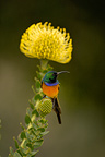 Orange-breasted Sunbird on Proteaceae flower South Africa (Orange-breasted sunbird)