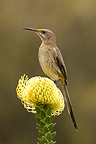 Cape Sugarbird on Pincushion flower South Africa (Cape Sugarbird)