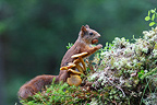 Red Squirrel eating a nut Scotland (Eurasian red Squirrel )