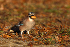 European Jay eating an acorn on the ground (Eurasian Jay)